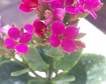 Hot Pink Blooming Kalanchoes Succulent live Plants