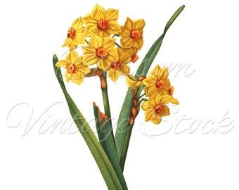 Narcissus Flower, Botanical Illustration, Narcissus Flower Digital Antique Illustration for print, digital artwork - INSTANT DOWNLOAD - 1564