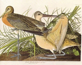 Great Marbled Godwit Audubon Print to Frame or for Collage, Scrapbooking, Paper Arts, Assemblage and MORE PSS 2200