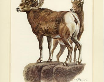 Vintage lithograph of the bighorn sheep from 1956