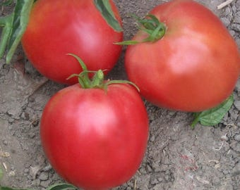 Zhefen Short Tomato Heirloom Garden Seed Non-GMO 30+ Seeds Rare Naturally Grown Open Pollinated Gardening