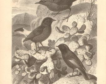 1879 Blue Rock Thrush, Black Wheatear and Black Redstart Original Antique Engraving to Frame