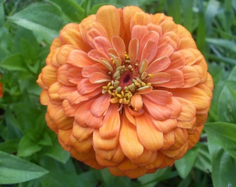 Zinnia Seeds Benarys Giant Mix, Tons of Flowers on One Plant, Old Cottage Garden, Attracts Butterflies to Your Garden, 10 Seeds