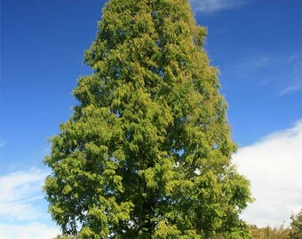100 Seeds Metasequoia glyptostroboides, Dawn redwood Tree Seeds