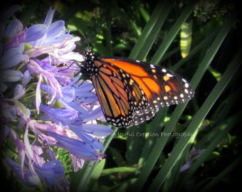 Flower - photograph - flower photo - Lily of the Nile - Agapanthus - Monarch Butterfly - Blue Flower - Butterfly - Santa Cruz - photography