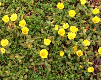 Green Purslane (500 thru 16,000 seeds) edible herb salad sprouts greens #301