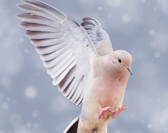 """SALE - 7x7 Print - """"Mourning Dove in Snow 4"""" Fine Art Photography Print - Home Decor - Wall Art - Under 25"""