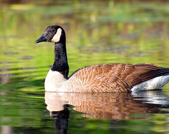 Canada Goose, Wildlife Photography, Goose, Canada Geese, Bird, Nature Photograph, Bird Photo, Geese Print, Wildlife Print, Waterfowl Photo