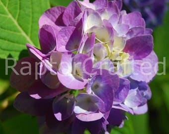 Pair of Hydrangeas, 2 photo set