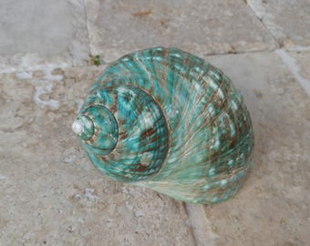 Turbo Shell -  Jade Turbo Shell - Natural Turbo - Polished Jade Seashell - Polished Jade Turbo - Pearlized Shell - No. 206