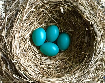 Robin's Nest with eggs; Blank Photo Card