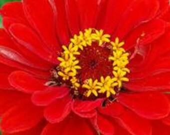 Supreme Variety - Rowdy Red