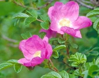 """Wild Pink Roses 6 UNROOTED 6-12"""" CUTTINGS ~Woodland ~Native ~Easy to root"""