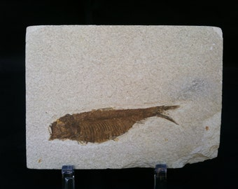 Fossil Fish Specimen from Wyoming. About 50 million Years Old.