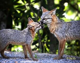 Fox Photograph, Grey Fox Kit, Wildlife Photography, Nature Photography, Red Grey Fox, Fox Wall Art, Fox  Decor, North Carolina