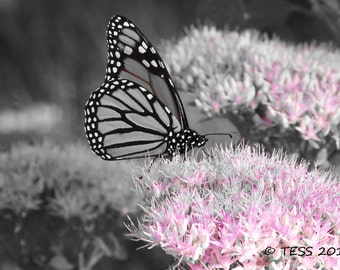 Butterfly Photography Print  - Black And White Butterfly Print -  Spring Butterfly Photo - Monarch Butterfly Photo - Nature