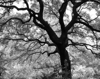 Big Black Oak Tree, Black and White Landscape Photograph, picture of a big tree, southern oak tree, san antonio oak tree