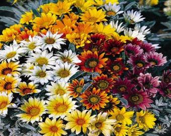 50 Seeds Gazania Talent Mix Seeds Flower Seeds