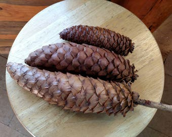Trio of CLOSED natural sugar pine pinecones, eco-friendly home decor, rustic mountain lodge, native California, clean and ready to display!