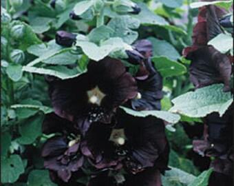 Hollyhock - Nigra - Heirloom - Perennial -25 Seeds