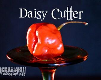 Daisy Cutter (15+ Seeds)