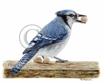 Bird Print BLUE JAY, Watercolour, Archival Giclee Print, Reproduction, American Bird, A4 or A5 Size
