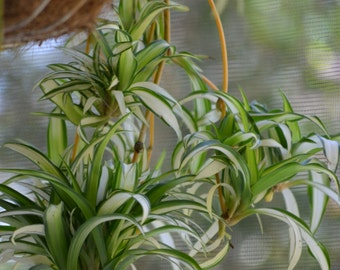 Variegated Spider Plant Baby BOGO Sale-GreenS d White House Plant, Organic Clean Air Plant