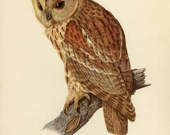 Vintage lithograph of the tawny owl or brown owl from 1953