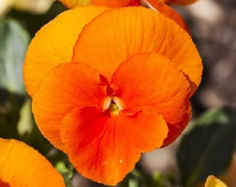 35+ Orange Chantreyland Viola Shade Loving / Perennial Flower Seeds