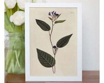 "Vintage illustration of Vine Lilac - framed fine art print, flower art, home decor 8""x10"" ; 11""x14"", FREE SHIPPING - 129"