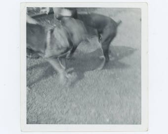 Two Dogs, c1960s-70s: Vintage Snapshot Photo (73563)