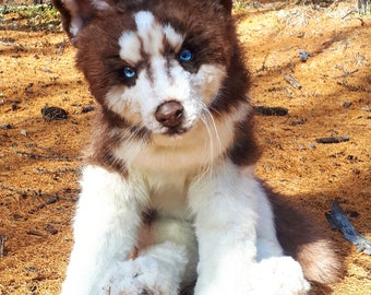 A realistic toy  Husky  dog