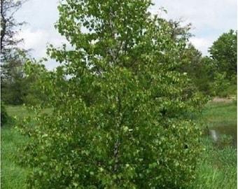 Asian White Birch Tree Seeds, Betula platyphylla - 25 Seeds