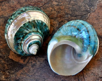 "Polished Jade Turbo Shell w/Pearlized Stripe (3-3.5"") - Turbo Burgessi"