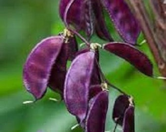 25 Seeds Hyacinth Bean Purple Bean Seeds Lablab Seeds