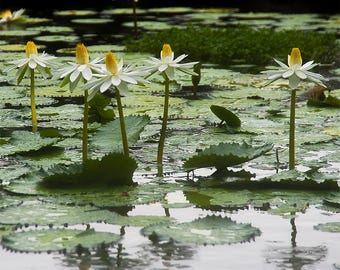 Hawaii - Water Garden - Nature photo - Water Lily, Lily Pad - Monet waterscape - Fine art photography - yellow, white, green - 12 x 12
