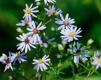 Calico Aster Flower Essence