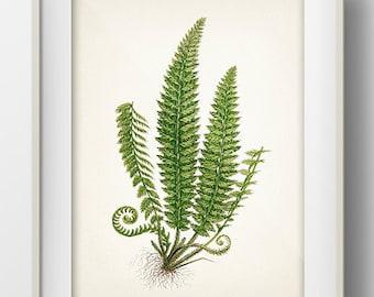 Green Fern 1- PL-01 - Fine art print of a vintage natural history antique illustration - PL-01