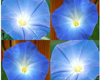 100 or 850 x HEAVENLY BLUE Morning Glory Flower Seeds - BIG Blooms ~ Showy Extended Bloom