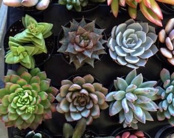 Six Small Succulent Plants - You Choose 6