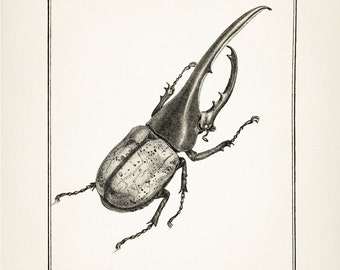 Hercules Beetle Drawing : Fine art print of a vintage natural history antique illustration, 8x10 11x14 12x18 13x19 IN-04
