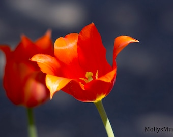 Orange Tulip Photo, Open Flower Petal Photography, Spring Blossoms, Bright Color Kitchen Art, Floral Wall Art Print