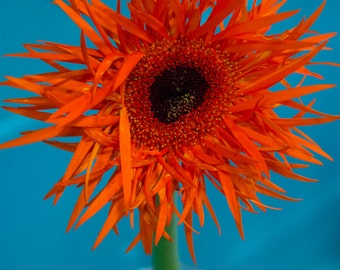 Orange Flower - blue spike petal photography
