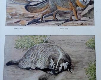 Desert Fox Gray Fox and Badger Vintage 1906 Print Louis Agassiz Fuertes