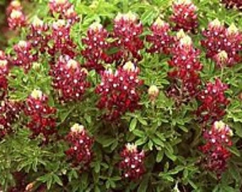 Red Texas Bluebonnet Flower Seeds / Lupinus  /Perennial  30+