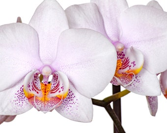 Flower Photography, Orchid Photography, Orchid Print, Orchid Photo, White and Pink, Spring Home Decor
