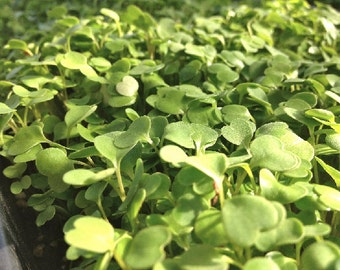 Organic Broccoli Sprout Seeds* ~Mycorrhizae Fortified/Bulk Available~