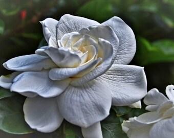 Gardenia, Flower, Floral, Gardenia Photograph, Nature Photography, White Flower, Wall Art, Fine Art, Home Decor