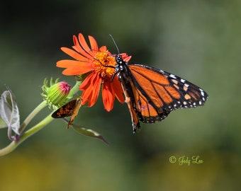 Monarch Butterfly, Monarch, Flower, Nature photography, Wall Art, Home decor, Fine Art, Beauty