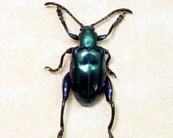 Dad's & Grad's Gift Real Framed Blue Shiny Kangaroo Sagra Beetle 7919